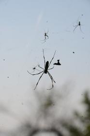 懸命に糸を張るクモたち