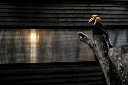 A huge, distinctive hornbill with a large yellow bill and casque