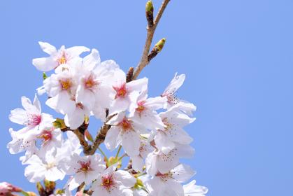 雲一つない空と満開に咲いたソメイヨシノの花