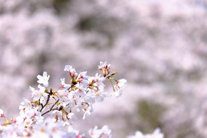 背景をぼかした満開に咲いた桜の花びら
