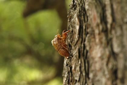 昆虫ポートレート:羽化した蝉の抜け殻