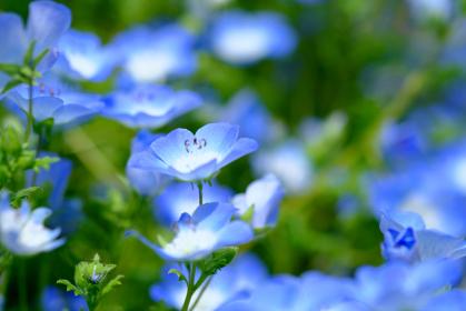 群生する青いたくさんのネモフィラ