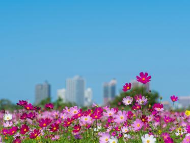 荒川河川敷の秋桜と秋晴れの青空