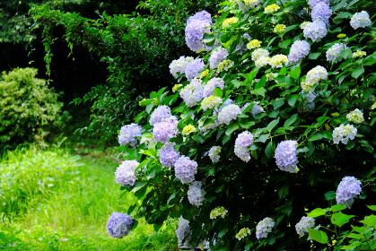 森に咲くアジサイの花
