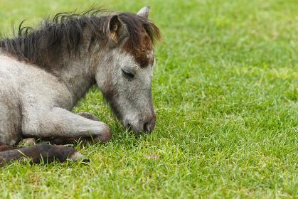 日本の北海道東部・夏、牧場の馬