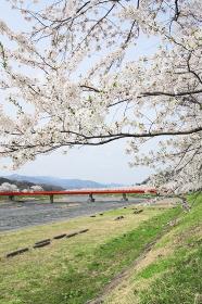 桧木内川堤の桜並木
