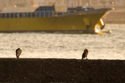 夕暮れの関門海峡の堤防で休憩するウミウ