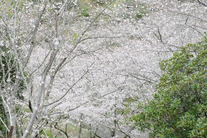 目の前を覆う観音滝公園の満開の桜