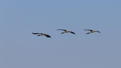 Birds in flight detail from Pantanal, Brazil