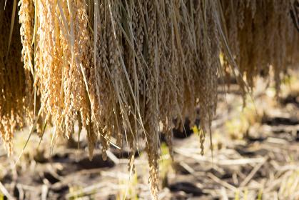 風景写真:水田 お米、ハゼ掛けして稲のアップ
