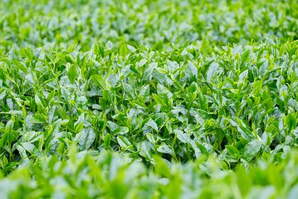 新緑の茶畑 新茶 梅雨 京都府和束町