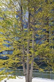 都会で育つ植樹されたカツラの木