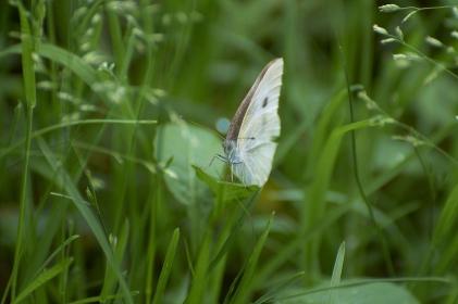 草むらで羽根を休ませるモンシロチョウ