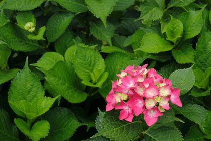 アジサイ 12 ピンク