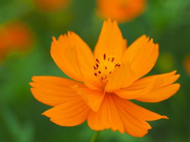 色鮮やかオレンジ色の花キバナコスモス