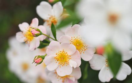 淡いピンク色の薔薇ロサ・カニーナ