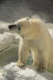 プールからあがったホッキョクグマが気持ちよさそうにブルブルと体を震わせて水しぶきを飛ばす