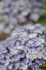 王冠のような紫陽花