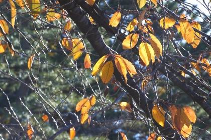 黄色い葉を輝かせ低く枝を伸ばす桜の樹