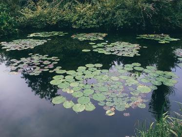 水面に浮かぶ蓮の葉