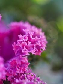 観賞する植物ハボタン