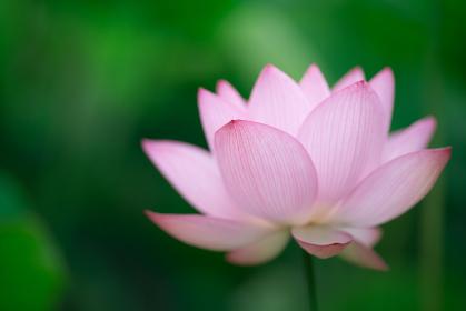 初夏の古河公方公園の蓮の花 7月