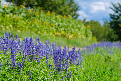 青いサルビアの花 馬見丘陵公園 8月 夏