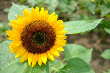 元気に咲いた黄色のかわいいひまわり