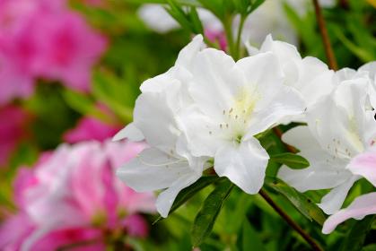綺麗な白いツツジの花