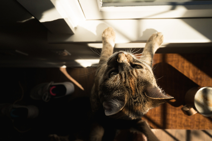 Overhead View of Curious Brown Cat Peering out Sunny Window at Home