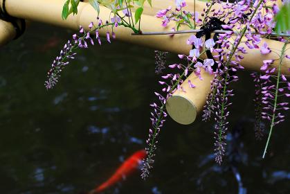 藤の花と錦鯉