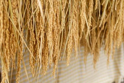 収穫後の稲 陰干し