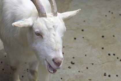 六甲牧場のヤギ