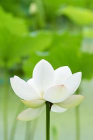 一輪の白いハスの花のアップ