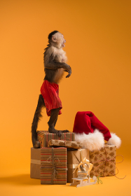 Capuchin monkey with Christmas gift boxes and Santa Claus hat on yellow background