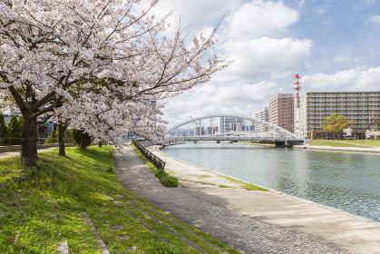 紫川沿いの桜と紫川橋(鉄の橋)