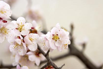 梅の花のクローズアップ画像