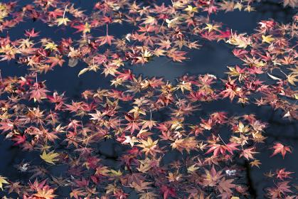 屋根に積もるモミジの落葉