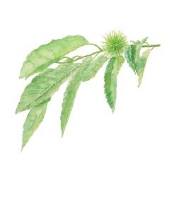 くり イガグリ葉付き 栗の木【水彩】