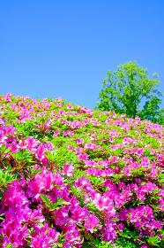 青空とツツジ(サツキ)の花