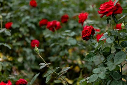 雨の日の赤いバラ