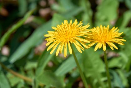 綺麗に咲く二輪のタンポポの花