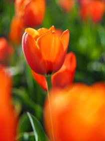オレンジ色のチューリップ