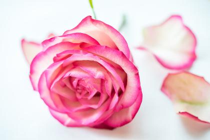 薔薇(バラ)・落ちた花びら