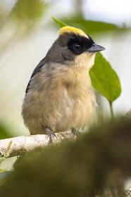 Beautiful brown, yellow and black bird in the Atlantic Rainforest , Penedo, RJ, Brazil