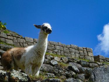 ペルー・マチュピチュ敷地内に住む白色と茶色の小柄な野生のリャマ