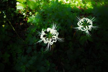 野に咲く二輪の白い彼岸花