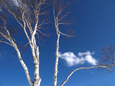 芽吹きの季節を迎えた白樺。高原に早春の風が吹き渡る