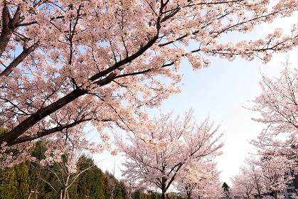 桜の咲く景色