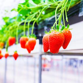 イチゴ狩り 農園 ハウス 【春イメージ】